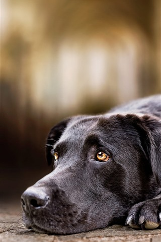iPhone Wallpaper Black dog, sadness, look, eyes