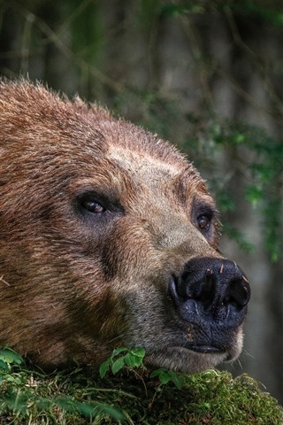 iPhone Wallpaper Brown bear, face, nose, look