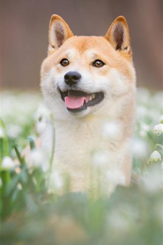 iPhone Papéis de Parede Cachorro, olhe, snowdrops, flores brancas