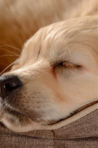 iPhone Wallpaper Golden Retriever, sleeping