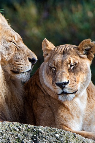 iPhone Wallpaper Lion and lioness, rest, couple