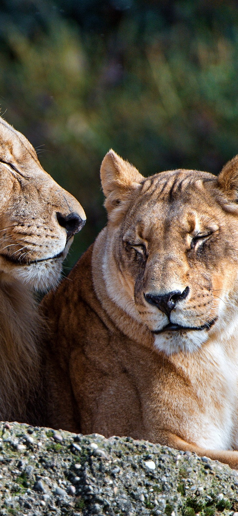 Wallpaper Lion And Lioness Rest Couple 3840x2160 Uhd 4k Picture Image