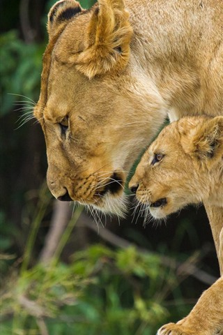iPhone Wallpaper Lioness and lion cub, look, family