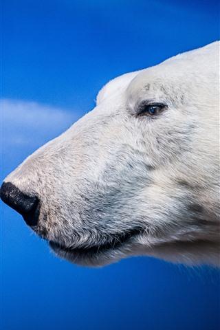 iPhone Wallpaper Polar bear, head, eyes, blue background