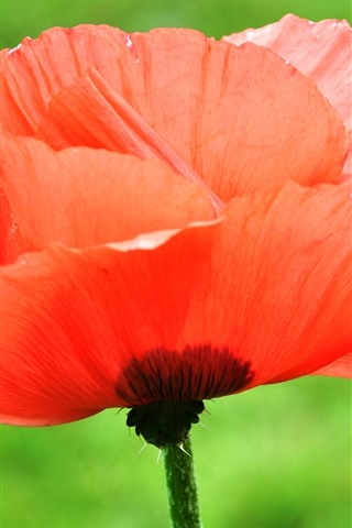 iPhone Wallpaper Red poppy, flower, water droplets