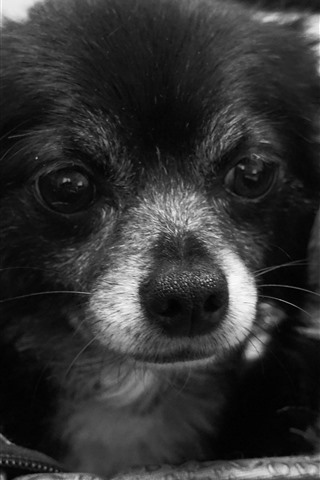iPhone Wallpaper Two cute puppies, black and white picture