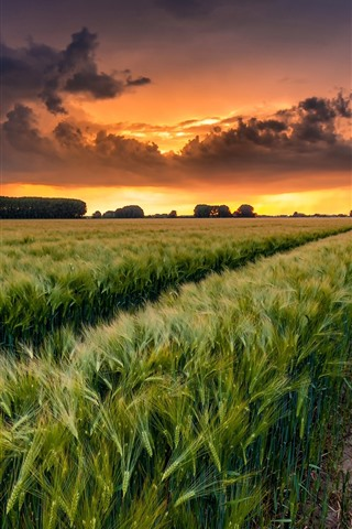 iPhone Wallpaper Wheat fields, clouds, sunset, countryside