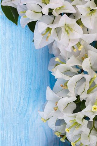 iPhone Hintergrundbilder Weiße Bouganvillablumen, blauer Hintergrund