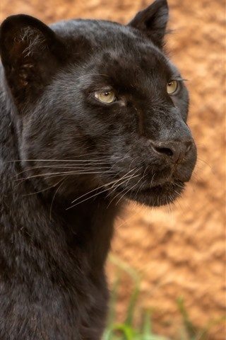 iPhone Wallpaper Black panther, look, face, wildlife