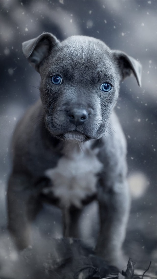 pitbull wallpaper cute