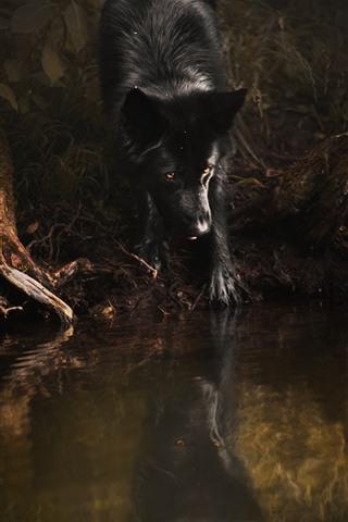 iPhone Wallpaper Black wolf, yellow eyes, water