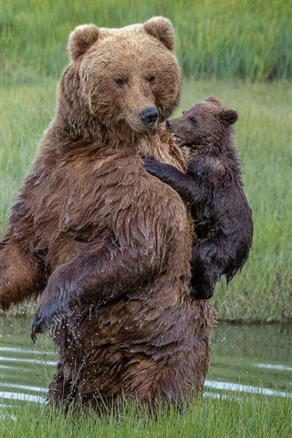 iPhone Wallpaper Brown bears, family, cubs, river, grass