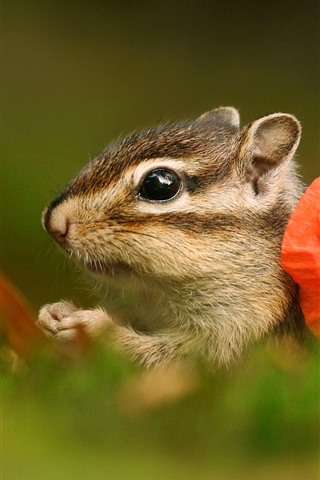 iPhone Wallpaper Chipmunk and red poppy flower