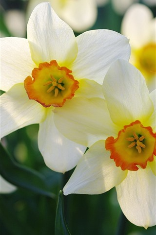 iPhone Wallpaper Daffodils macro photography, petals, flowers