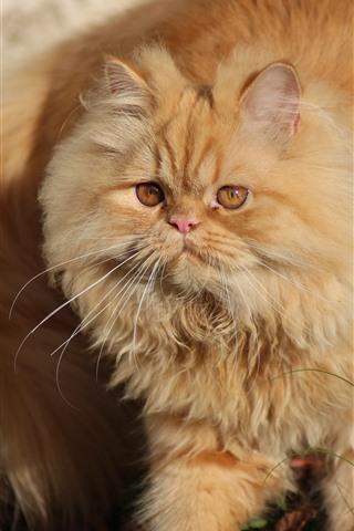 iPhone Wallpaper Fluffy cat, pet