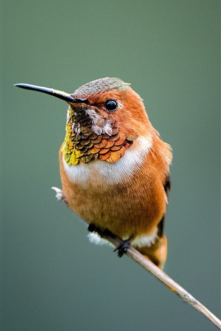 iPhone Wallpaper Hummingbird, beak, twigs, hazy background