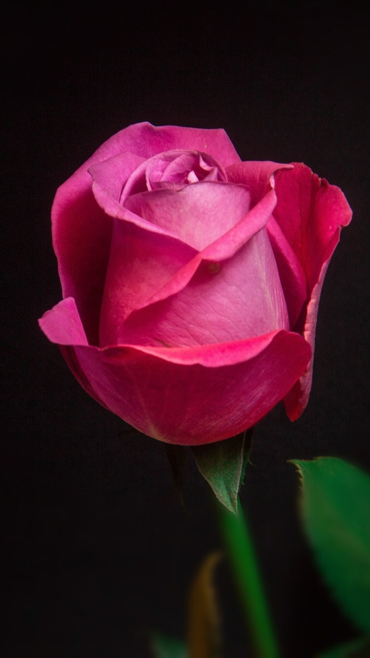 One Red Rose Macro Photography Black Background 750x1334 Iphone 8 7 6 6s Wallpaper Background Picture Image