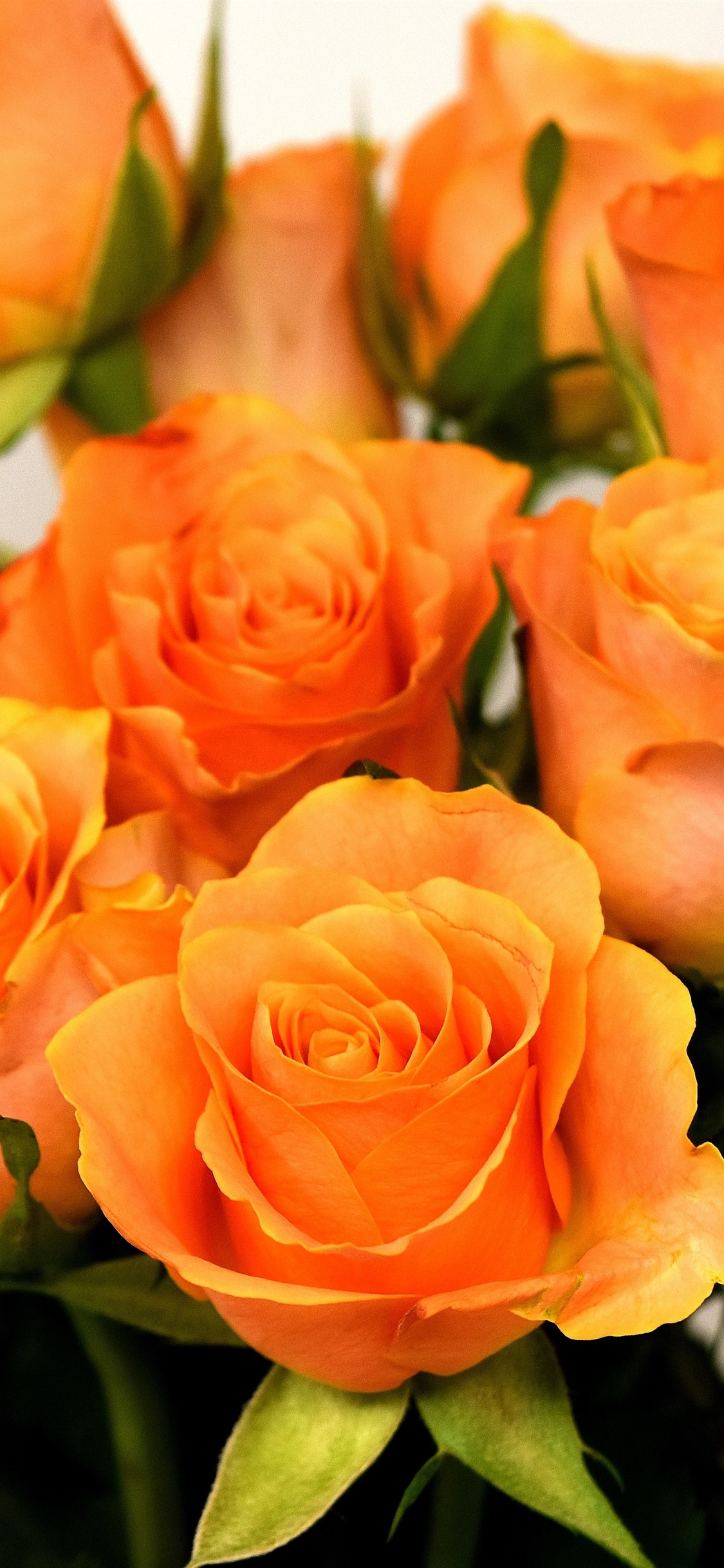 Orange Roses Bouquet White Background 1242x2688 Iphone 11 Pro Xs Max Wallpaper Background Picture Image