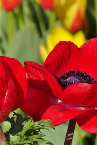 iPhoneの壁紙 赤いケシの花、花びら、マクロ写真