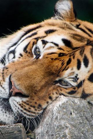 iPhone Wallpaper Tiger, rest, stone, big cat
