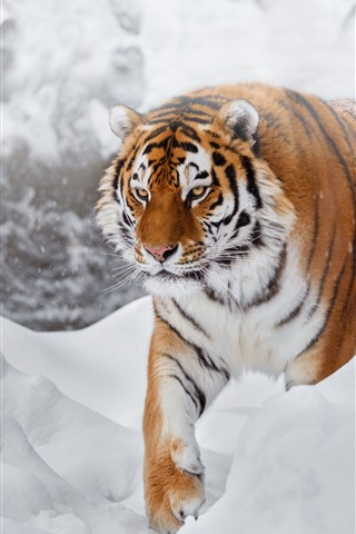 iPhone Wallpaper Tiger, snow, cold, wildlife