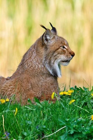 iPhone Wallpaper Wildcat, lynx, yellow flowers, grass
