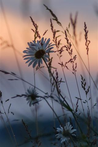 iPhone Wallpaper Wildflowers, grass, dusk