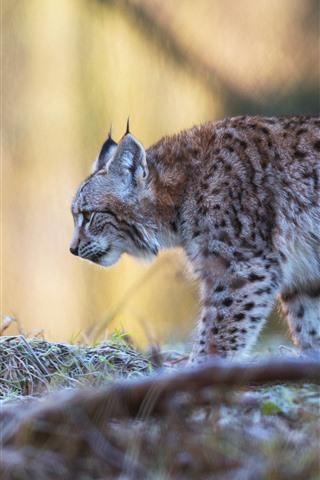 iPhone Wallpaper Wildlife, lynx walking, hazy background