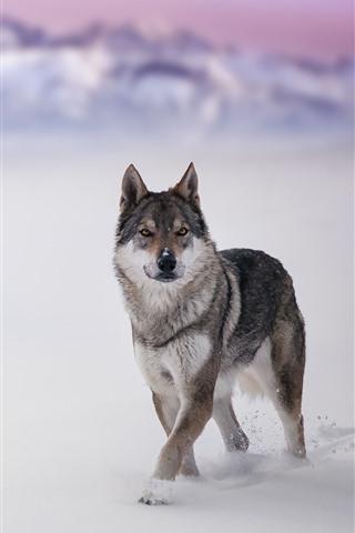 iPhone Wallpaper Wolf, wildlife, look, snow, winter