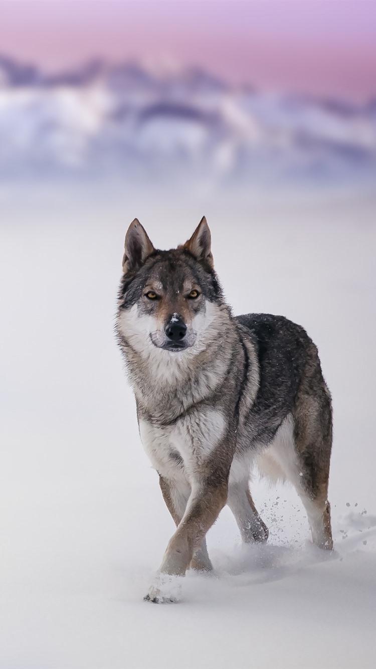 オオカミ 野生動物 外観 雪 冬 750x1334 Iphone 8 7 6 6s 壁紙