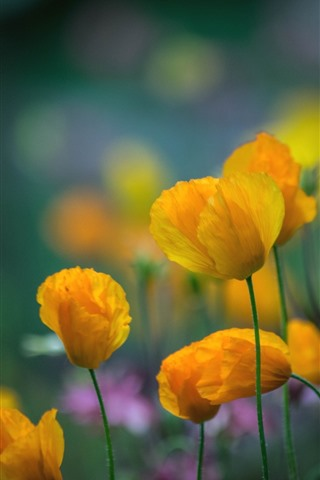 Yellow Poppies Flowers 750x1334 Iphone 8 7 6 6s Wallpaper