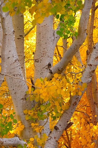 iPhone Wallpaper Autumn, yellow leaves, birch, trees, trunk
