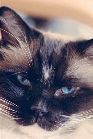 iPhone Wallpaper Blue eyes cat, look, furry