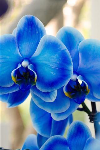 iPhone Wallpaper Blue phalaenopsis, orchid
