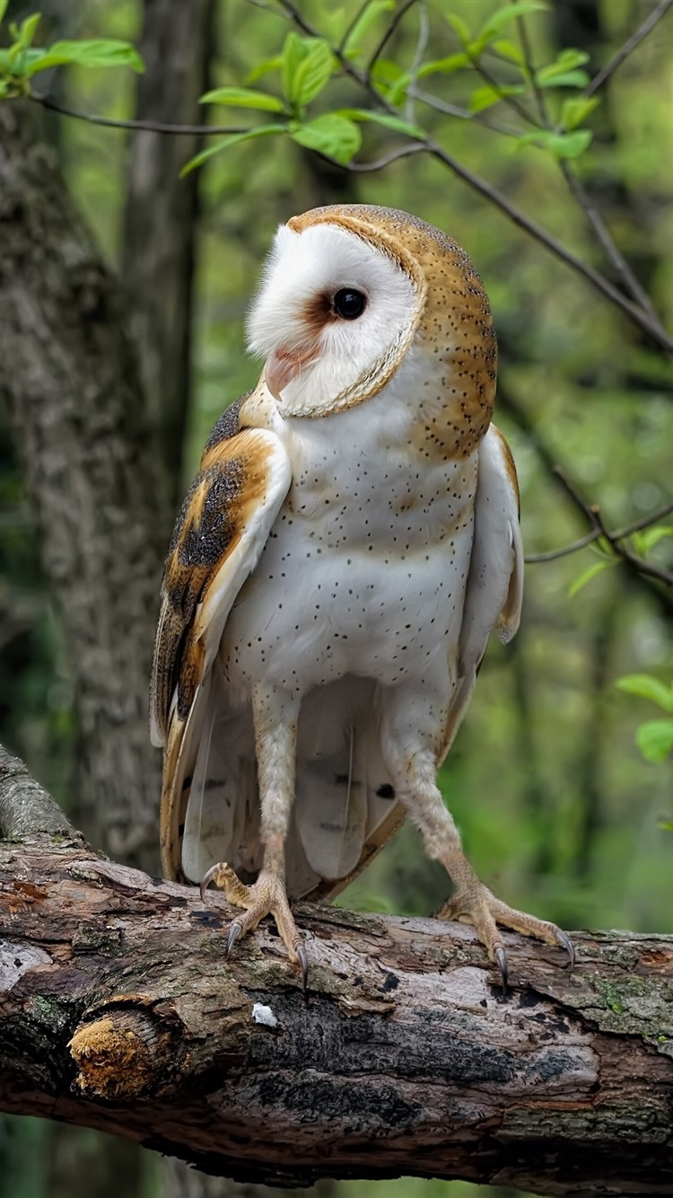 Common Barn Owl 828x1792 Iphone 11 Xr Wallpaper Background Picture Image