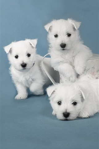 iPhone Wallpaper Cute four white puppies