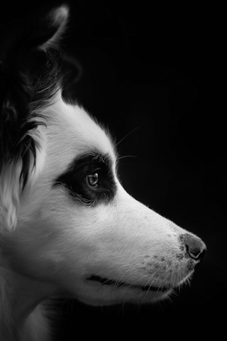 iPhone Wallpaper Dog, face, side view, black background