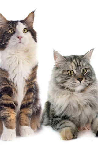 iPhone Wallpaper Four cats, white background