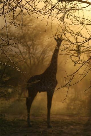 iPhone Wallpaper Giraffes, trees, fog, morning, hazy