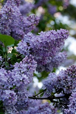 iPhone Wallpaper Lilacs blooming, purple flowers, spring