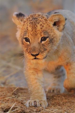 iPhone Papéis de Parede Filhote de leão a pé para você