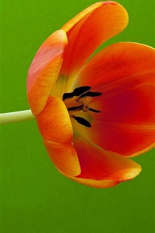 iPhone Wallpaper One orange tulip, green background