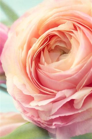 iPhoneの壁紙 ピンクの牡丹のクローズアップ、花びら