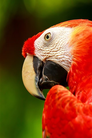 iPhone Wallpaper Red feather macaw, parrot, beak, head