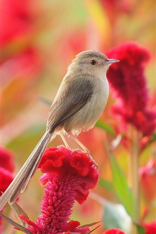 iPhone Wallpaper Sparrow, red flowers
