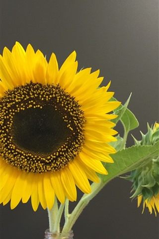iPhone Wallpaper Sunflowers, gray background