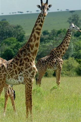 iPhone Wallpaper Three giraffes, Africa