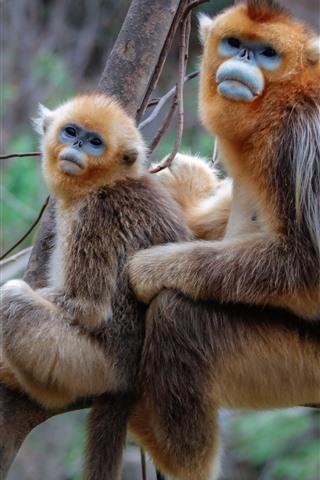 iPhone Wallpaper Two golden monkeys, tree