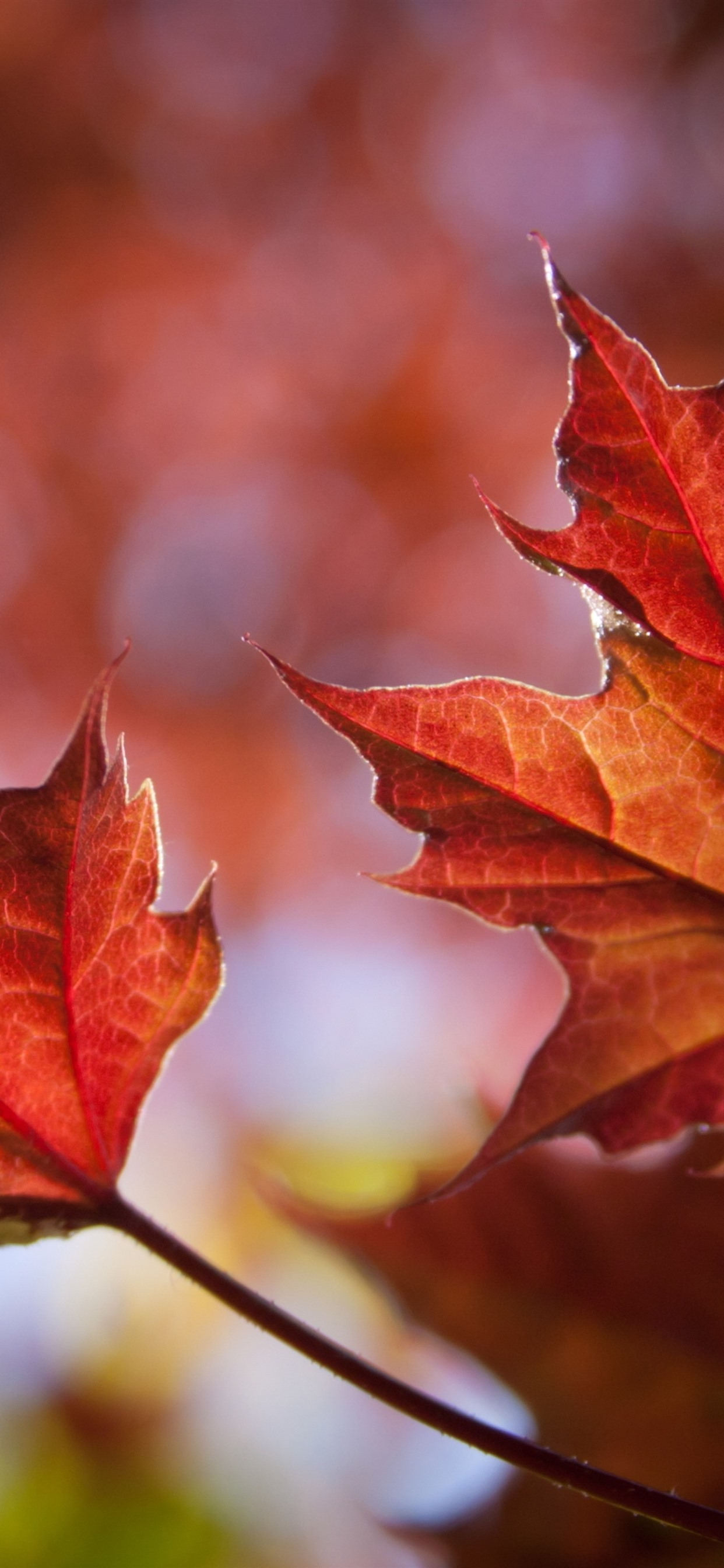Two Red Maple Leaves Autumn 1242x2688 Iphone 11 Pro Xs Max Wallpaper Background Picture Image