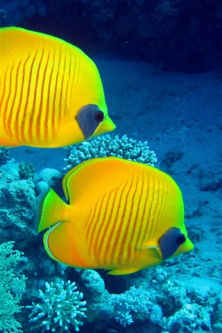 iPhone Wallpaper Two yellow fish, underwater, clownfish